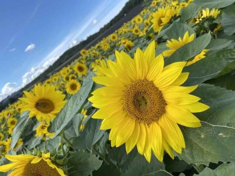 「パレットの丘」ひまわりの開花状況について(9/24現在)