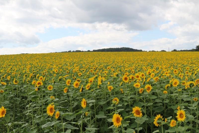 「パレットの丘」ひまわりの生育・開花状況について(9/19現在)