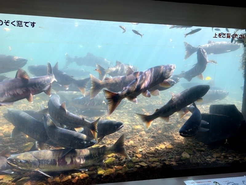 千歳川のサケの遡上がピークを迎えております