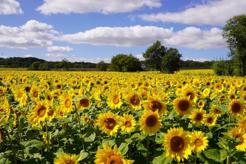「パレットの丘」ひまわり開花状況(9月25日)